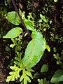Rhynchoglossum obliquum 04.JPG