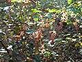 Ribes gordonianum (2).jpg