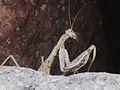 Rivetina balcanica (Mantis sp.) detail, Skala Kalloni, Lesbos, Greece.jpg