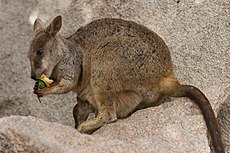 Rock Wallaby and infant - July 2005.jpg