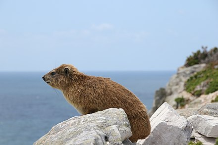 Dassie at the Cape of Good Hope Rock hyrax at Cape of Good Hope.jpg
