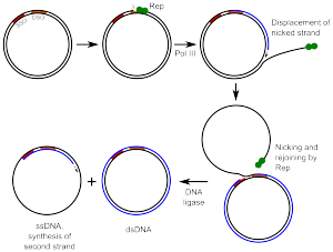 Rolling Circle Replication Wikipedia