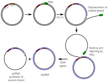 Illustration of rolling circle replication.