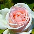 """Rosa """"André le Nôtre"""", """"Betty White"""" o MEIceppus. 01.jpg"""