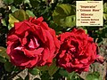"Rosa ""Imperator"" o MEIperator. 02.jpg"