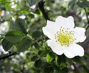 Ruža roľná - kvet