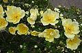 Rosa hugonis - Morris Arboretum - DSC00221.JPG