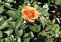 Rosa pumpkin patch 2.jpg