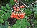 1 Sorbus aucuparia 12 - 2011.07.20.jpg