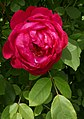 Rosarium Baden Rosa 'Benjamin Britten' Austin 2001 02.jpg