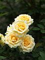 Rose, Christmas Bell, バラ, クリスマス ベル, (12530415215).jpg