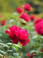 Rose, L.D. Braithwaite, バラ, L.D. ブレスウェイトゥ, (16001604636).jpg