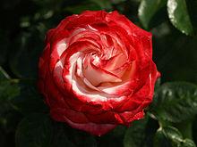 Rose P6093594.jpg