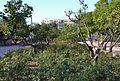 Rosers i tarongers al jardí del Camí de Montcada, València.JPG