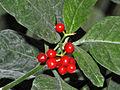 Rubiaceae - Psychotria punctata.JPG