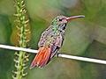 Rufous-tailed Hummingbird RWD.jpg