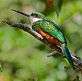 Rufous-tailed Jacamar (Galbula ruficauda) (29308230145).jpg