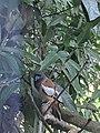 Rufous Treepie 2 - VPKD.jpg