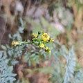 Ruta graveolens (Family Rutaceae).jpg