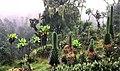 http://upload.wikimedia.org/wikipedia/commons/thumb/d/da/Ruwenpflanzen.jpg/120px-Ruwenpflanzen.jpg