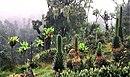 Tumbuhan di Pegunungan Rwenzori, Uganda