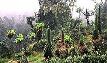 Ruwenpflanzen.jpg