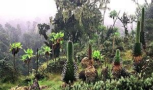 300px-Ruwenpflanzen.jpg