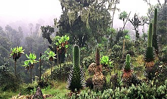Rwenzori Mountains - Lower Bigo Bog at 3400 m in the Rwenzori Mountains with giant lobelia in foreground