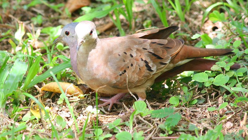 File:SIAMESE DOVES - male and female ground doves.jpg