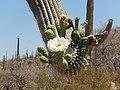 Saguaro National Monument West.jpg