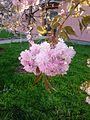 Sakura Tree.jpg