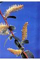 Salix alba(02).jpg