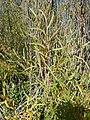 Salix melanopsis (29137168414).jpg