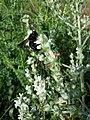 Salvia aethiopis sl15.jpg