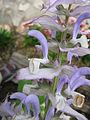 Salvia desoleana3.jpg