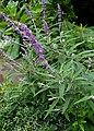 Salvia leucantha kz2.jpg