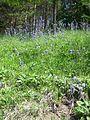 Salvia nutans3.jpg