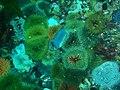Sandy anemones at Stonhenge Reef P4137431.JPG
