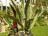 Sansevieria trifasciata Plant 3264px