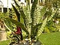 Sansevieria trifasciata Plant 3264px.jpg