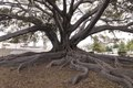 Santa Barbara's Moreton Bay Fig Tree located in Santa Barbara, California, is believed to be the largest Ficus macrophylla in the country LCCN2013634642.tif