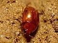 Sap-feeding Beetle (29158830206).jpg
