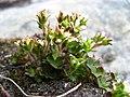 Saxifraga hyperborea upernavik 2007-08-01 2.jpg