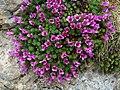 Saxifraga oppositifolia (saxífraga opositifòlia) (16659393143).jpg