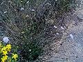 Scabiosa atropurpurea Habitus DehesaBoyalPuertollano.jpg