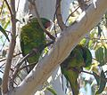 Scaly-breasted Lorikeet. Trichoglossus chlorolepidotus - Flickr - gailhampshire (1).jpg