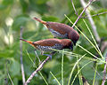 Scaly breasted munia feeding.jpg
