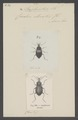 Scaphinotus - Print - Iconographia Zoologica - Special Collections University of Amsterdam - UBAINV0274 009 08 0013.tif
