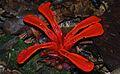 Scarlet Earth Ginger (Achasma megalocheilos) (8689992884).jpg