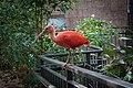Scarlet Ibis (31791568110).jpg